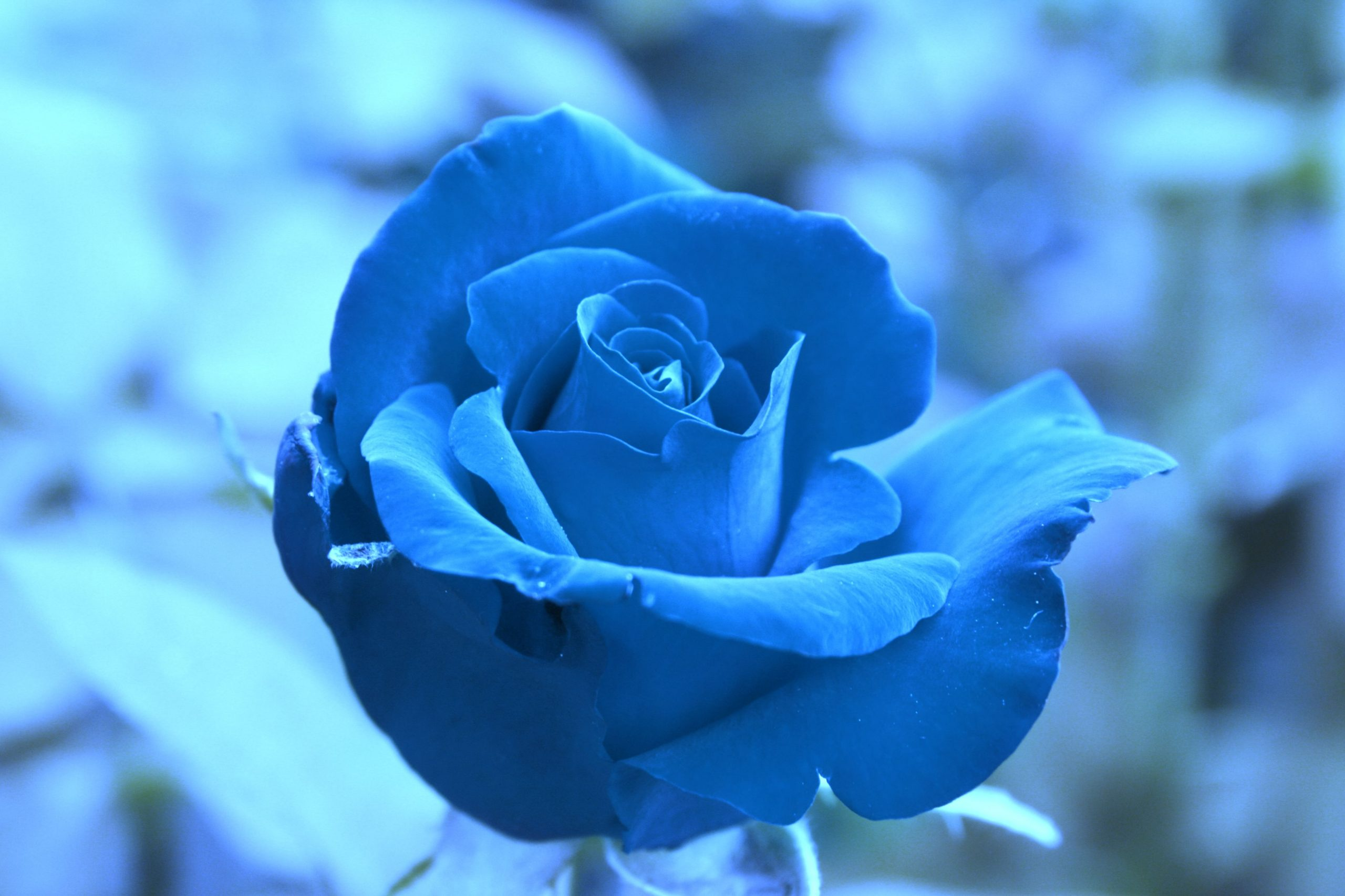 چرا گل ها بو دارند و بوی عطر گل چرا آرامش بخش است؟